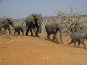elephants-474759_1280